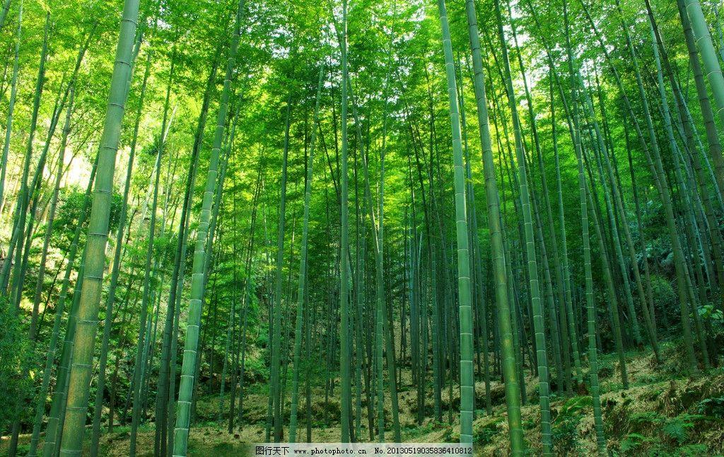 绿竹 绿色 竹子 竹林 风景 自然 摄影
