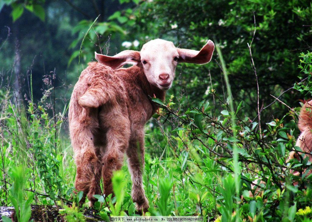 小羊 羊羔 回头 原野 大耳朵 家禽家畜 生物世界 摄影 180dpi jpg