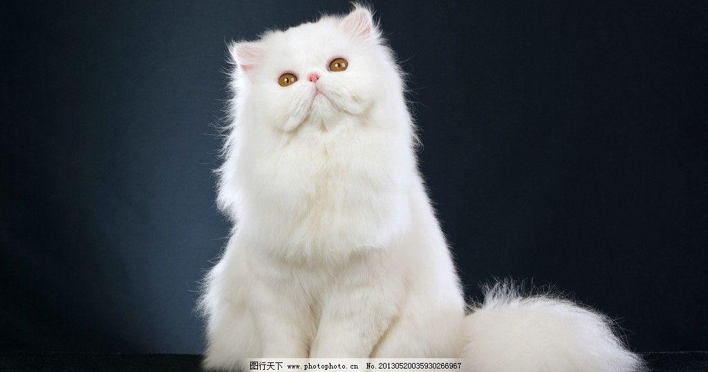 可爱的白色猫图片_家禽家畜_生物世界_图行天下图库