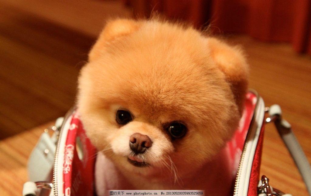 宠物狗 狗狗 小狗 宠物 可爱 萌物 博美犬 家禽家畜 生物世界 摄影 72