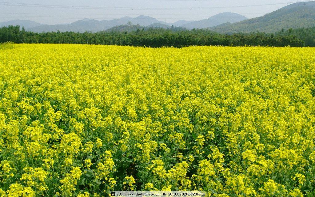 油菜花 黄花 菜叶 绿色 山 天 树木 田园风光 自然景观 摄影 72dpi