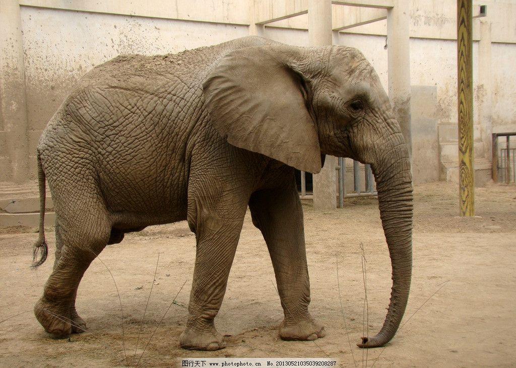 大象 动物 动物园 长鼻子 自然摄影     野生动物 生物世界 摄影 72