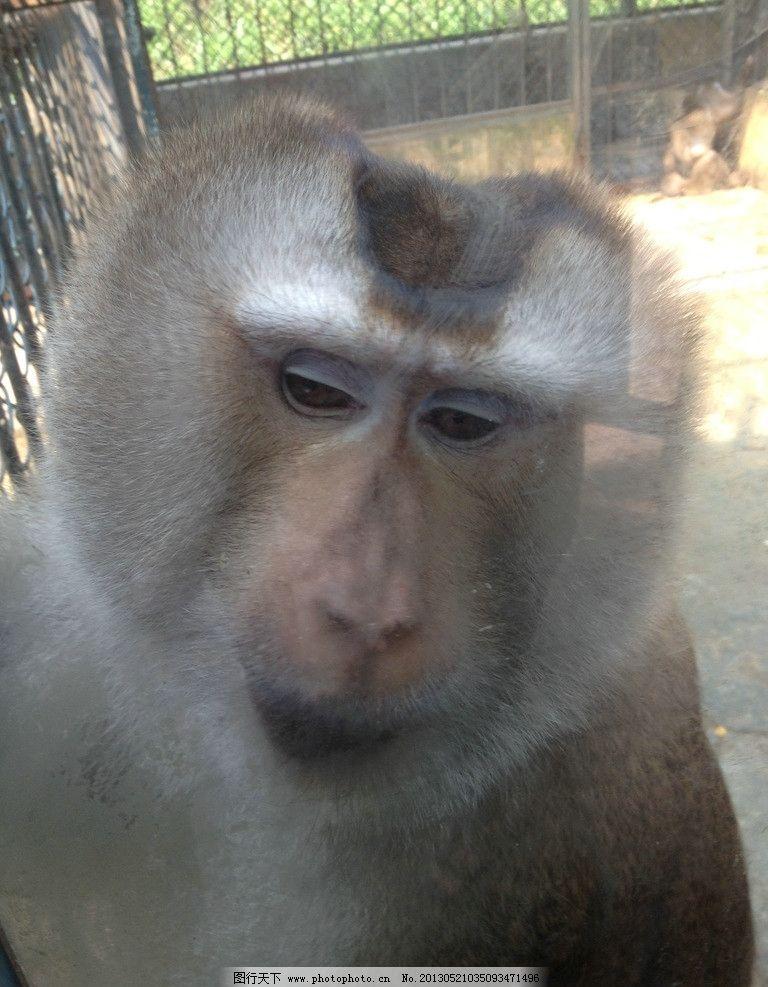 猿猴 猴子 猩猩 狒狒 猴子脸 野生动物 生物世界 摄影 72dpi jpg