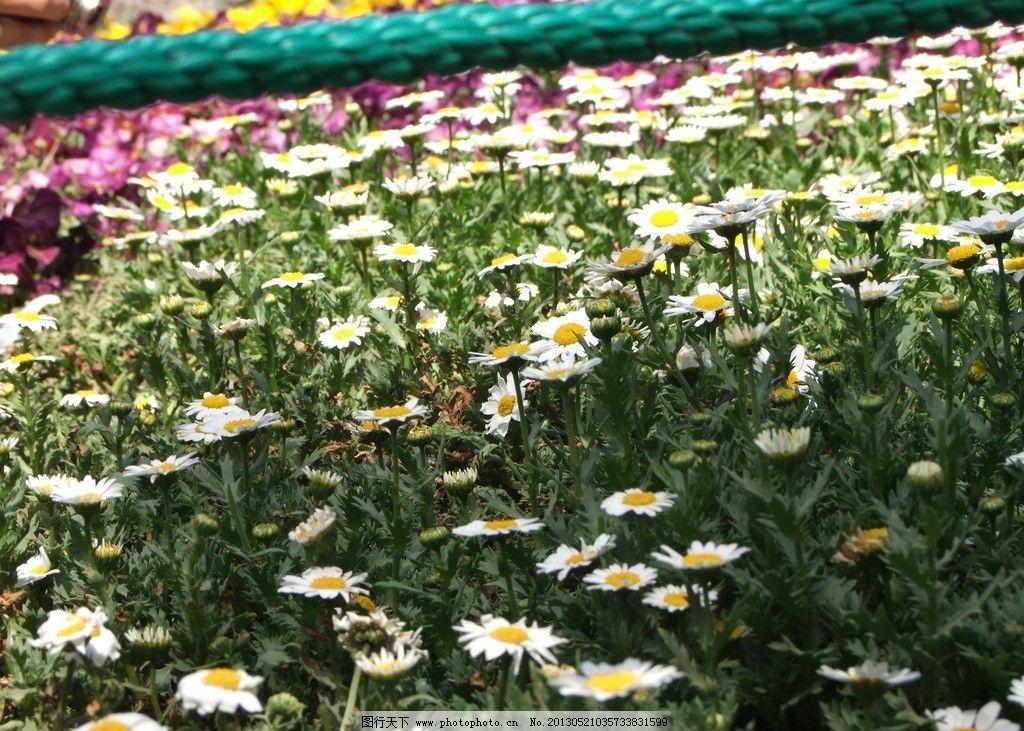 花朵-小雏菊图片