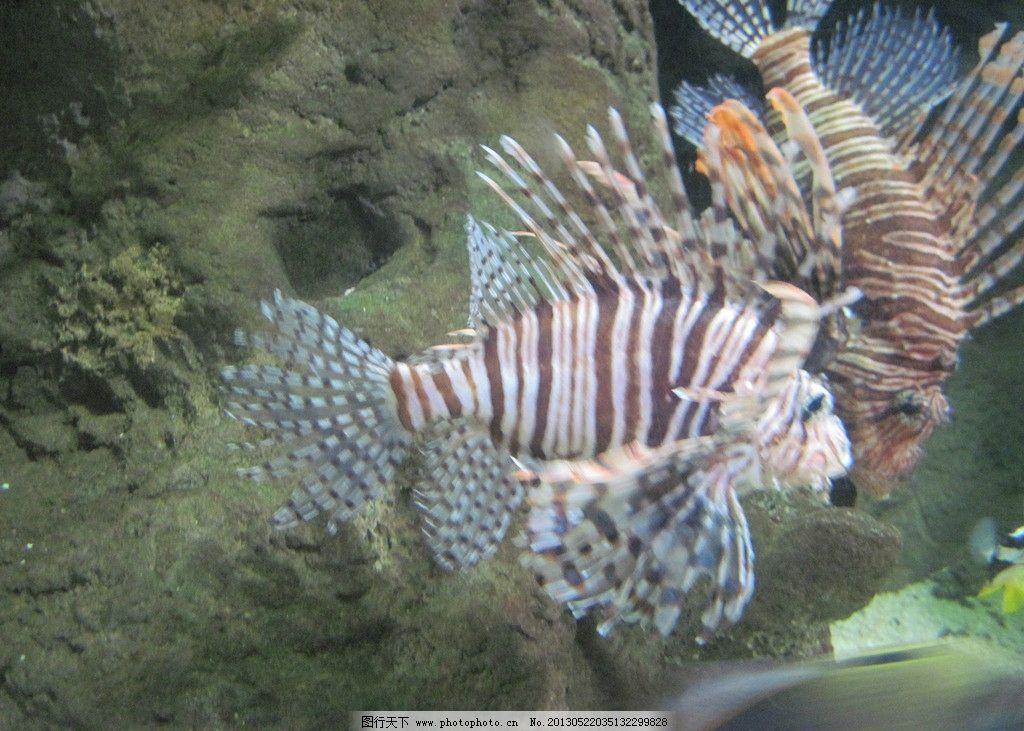 条纹鱼 海洋生物 海产 海鱼 海洋动物 动物世界 深海鱼 奇异动物 珊瑚