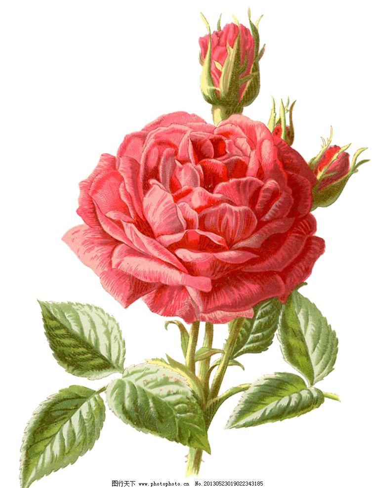 手绘粉红色蔷薇图片