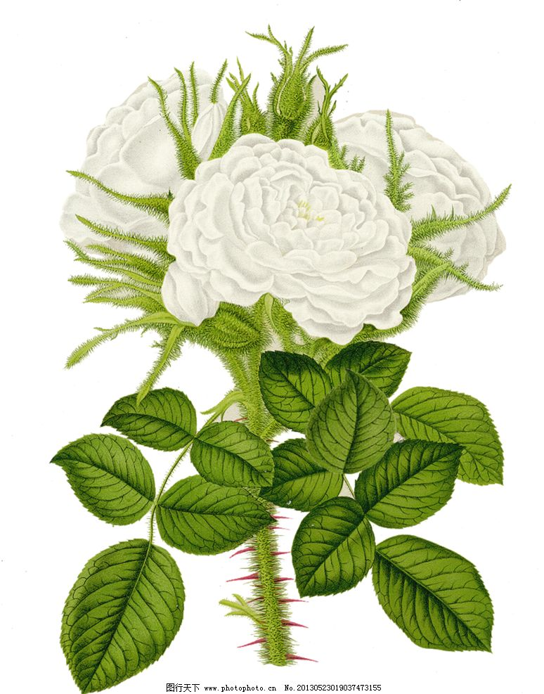 手绘白色蔷薇花图片