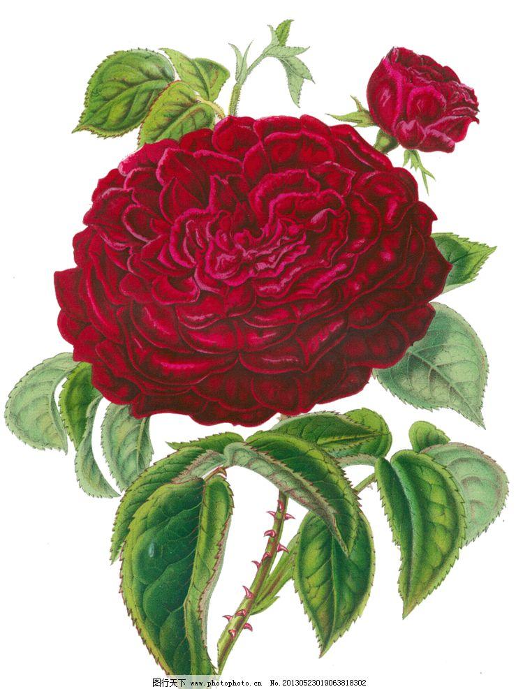 红色蔷薇花模板下载 红色蔷薇 复古红色蔷薇花 手绘蔷薇花 手绘红色蔷