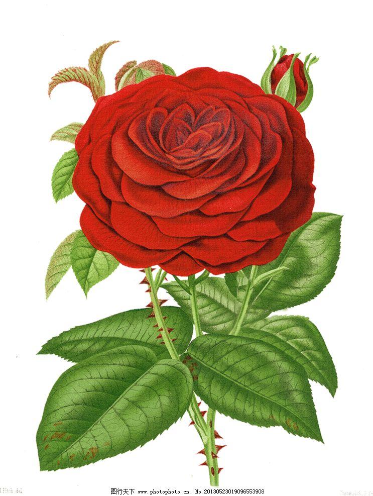 手绘红色蔷薇花图片