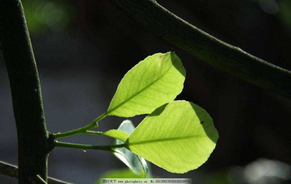 柠檬叶子图片