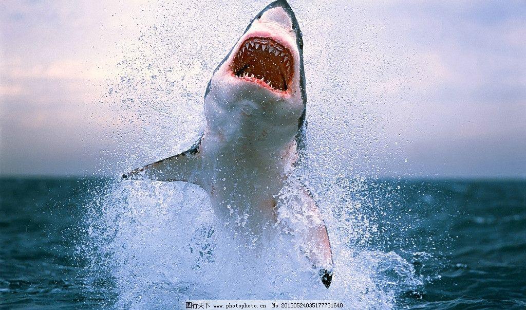 鲨血浴囹�a_鲨鱼 跳跃 撕咬 牙齿 血盆大口 恐怖 可怕 大鱼 鱼类 摄影