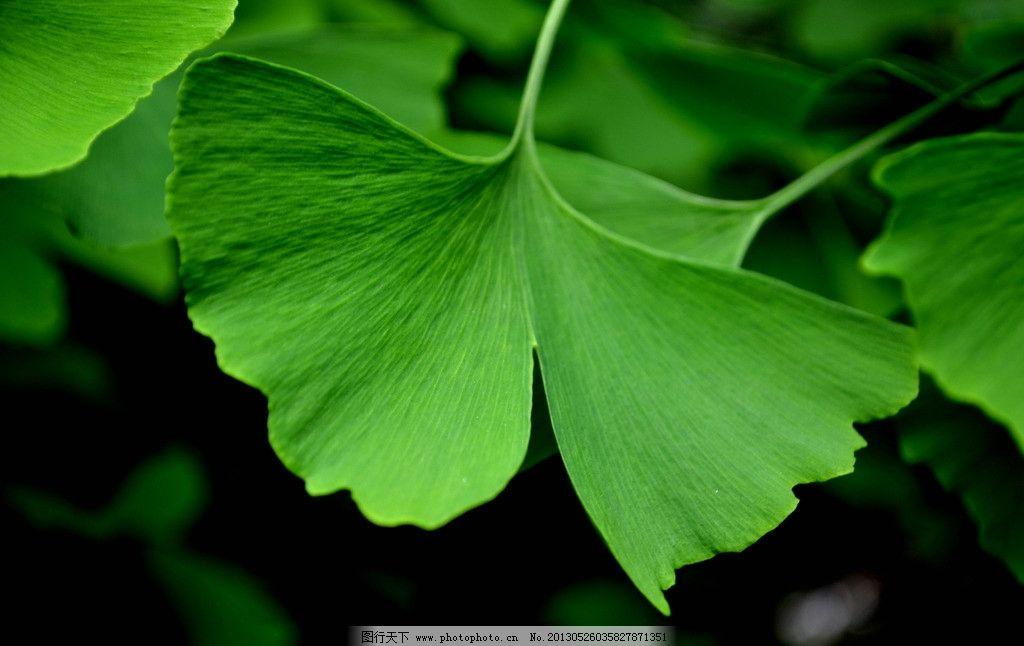 银杏 树叶 树木 银杏树 银名叶 绿色 生态 摄影