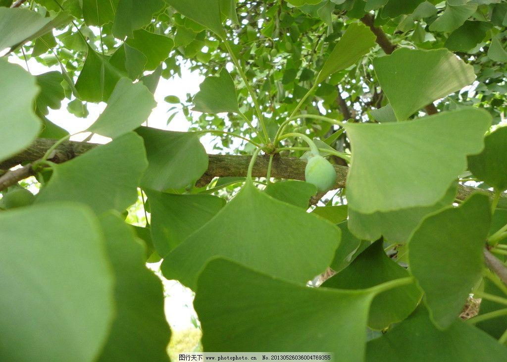 银杏 银杏叶 银杏树 白果 银杏树叶 其他生物 生物世界 摄影 72dpi