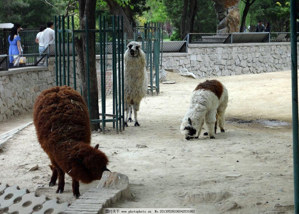悠闲的羊驼 可爱 其他生物 摄影