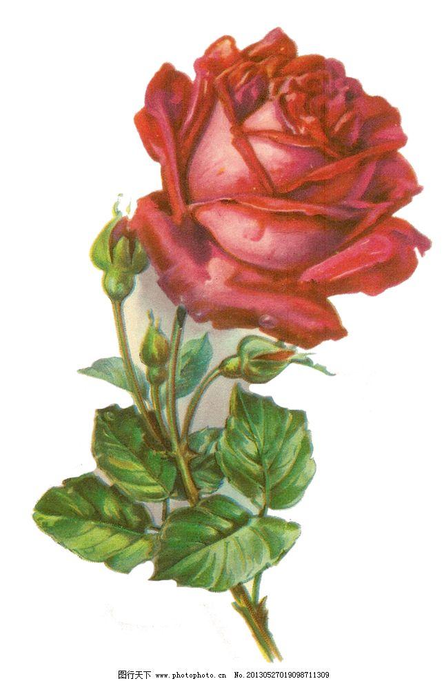 复古红色玫瑰花 手绘玫瑰花 手绘红色玫瑰花 手绘花朵 复古玫瑰花