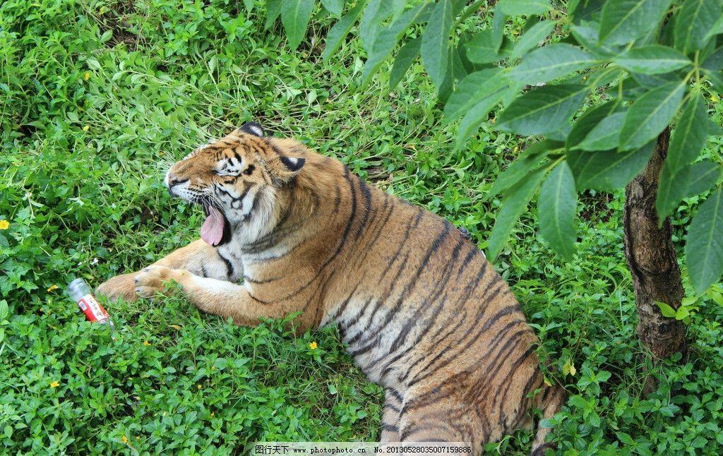 老鼠 老虎 东莞香市动物园 老虎打哈哈 草丛中的老虎 野生动物