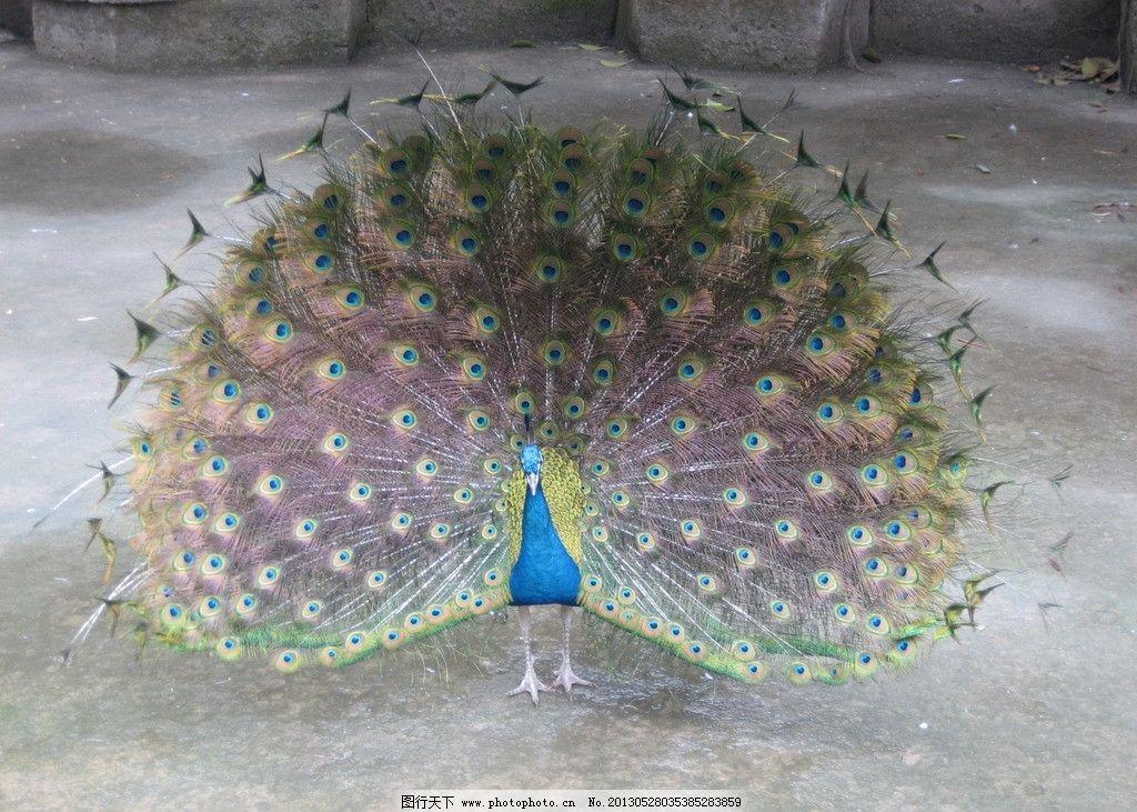 孔雀开屏 孔雀 开屏 动物 吉祥 鸟类 生物世界 摄影 180dpi jpg