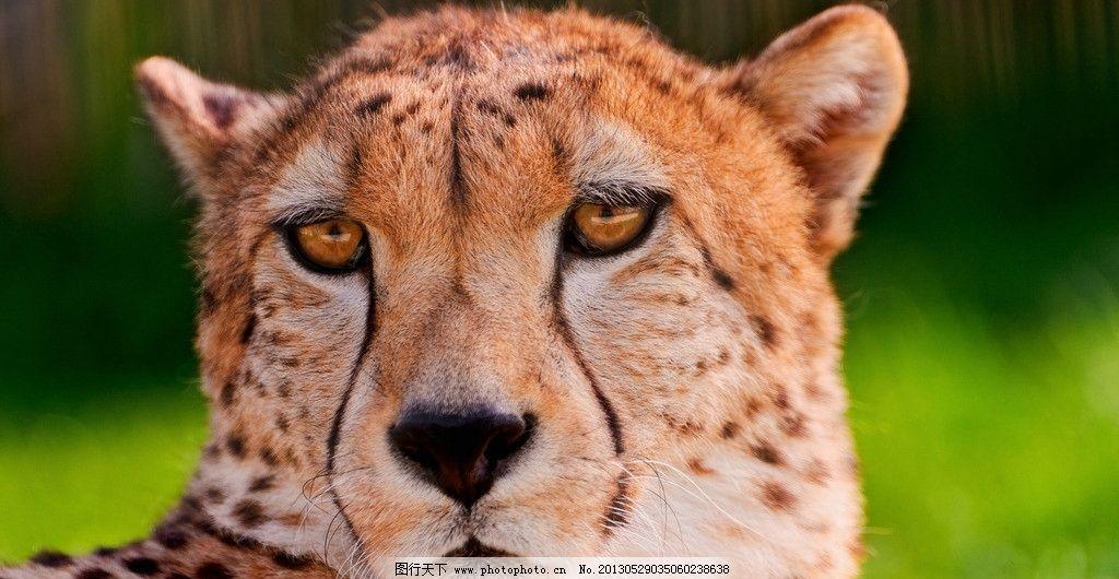 猎豹写真 摄影 生物 世界 野生 动物 猎豹 凶猛 头部 特写 斑点 黑色
