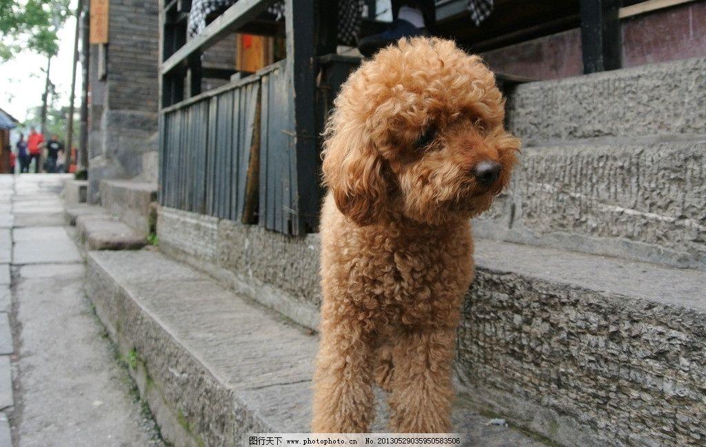 小狗 动物 狗 可爱 泰迪 家禽家畜 生物世界 摄影 72dpi jpg
