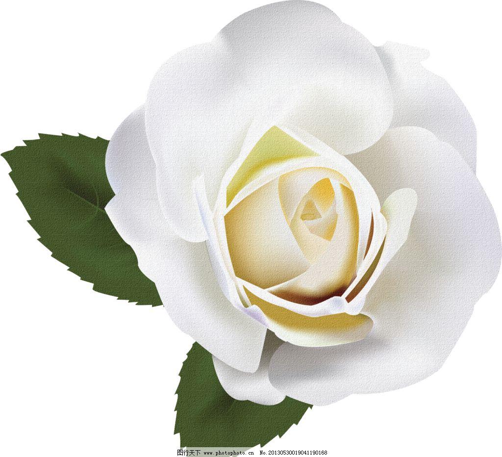 白色玫瑰花图片_绘画书法_文化艺术_图行天下图库