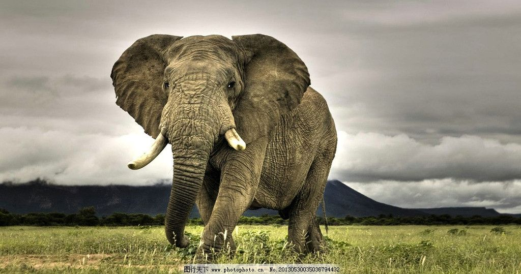 大象 天空 草原 野生动物 象牙 生物世界 摄影