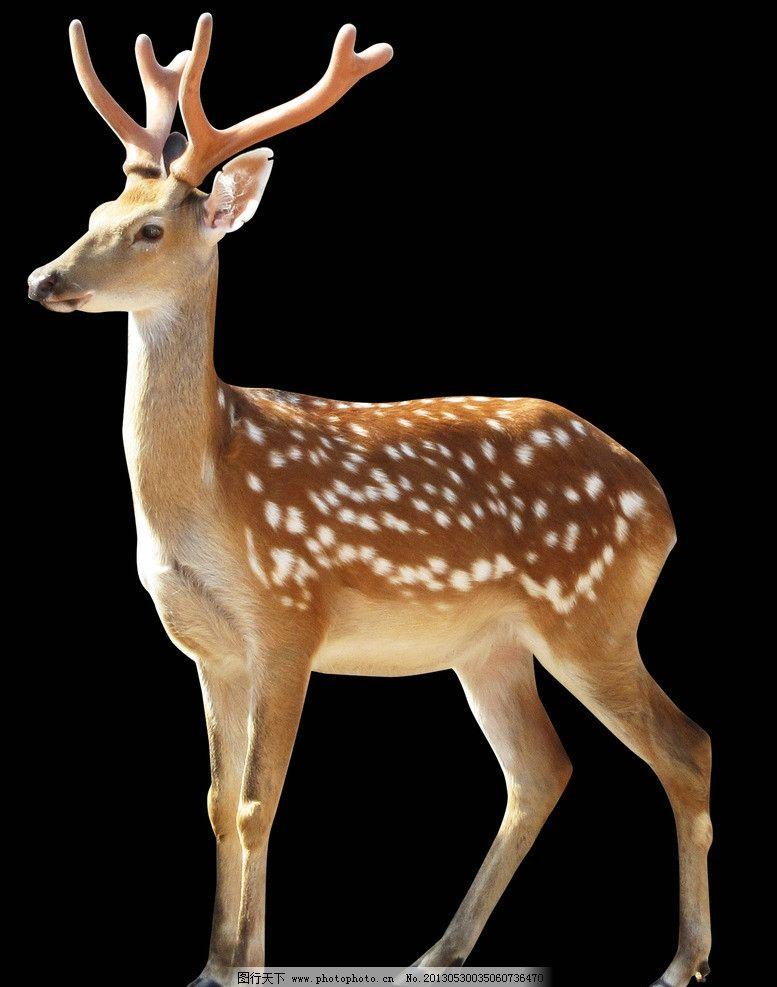 梅花鹿抠图 梅花鹿 鹿 梅花鹿素材 宁夏 何立宁 野生动物 生物世界