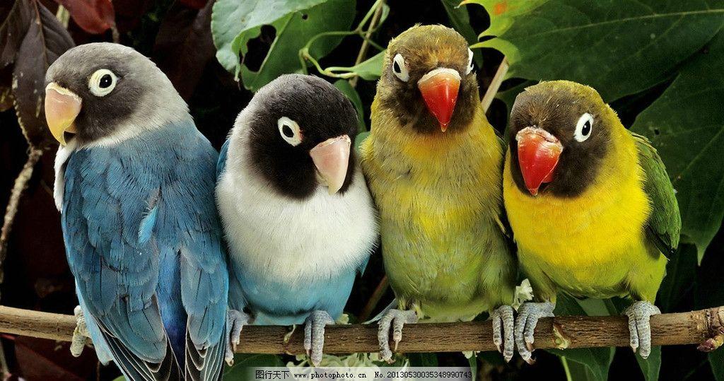 鹦鹉 鸟类 鸟儿 四只鹦鹉 排队 蓝色鹦鹉 黄色鹦鹉 西方动物 宠物