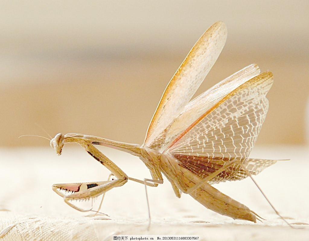 螳螂展翅 摄影图片 生物世界 昆虫 节肢动物 白色