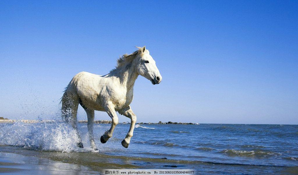 海边奔驰 白马 马 高清 海边 壁纸 海浪 野生动物 生物世界 摄影 96