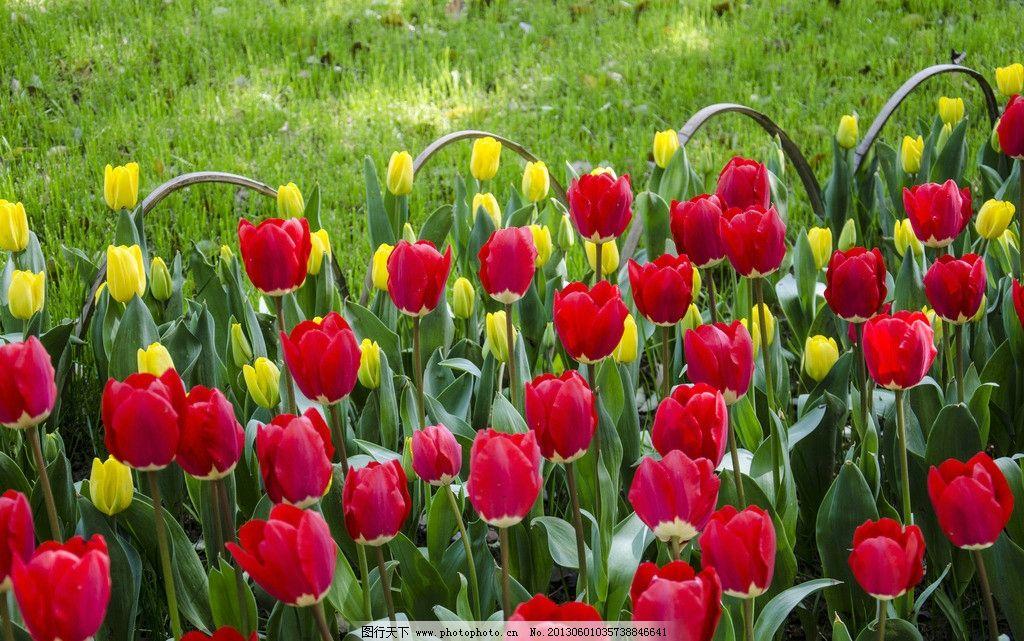 郁金香 阳光 花朵 花丛 花海 花卉 花草 春天 鲜花 灿烂花朵 绿叶图片