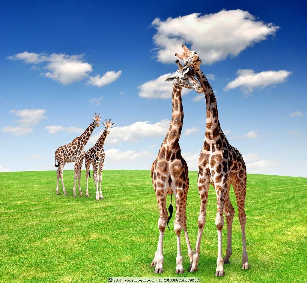 生物世界 野生动物  长颈鹿 野生动物 哺乳动物 蓝色 白云 天空 太阳