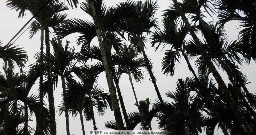 椰子树 树 椰子 仰角 风景 椰子叶 树木树叶 生物世界 摄影 72dpi jpg