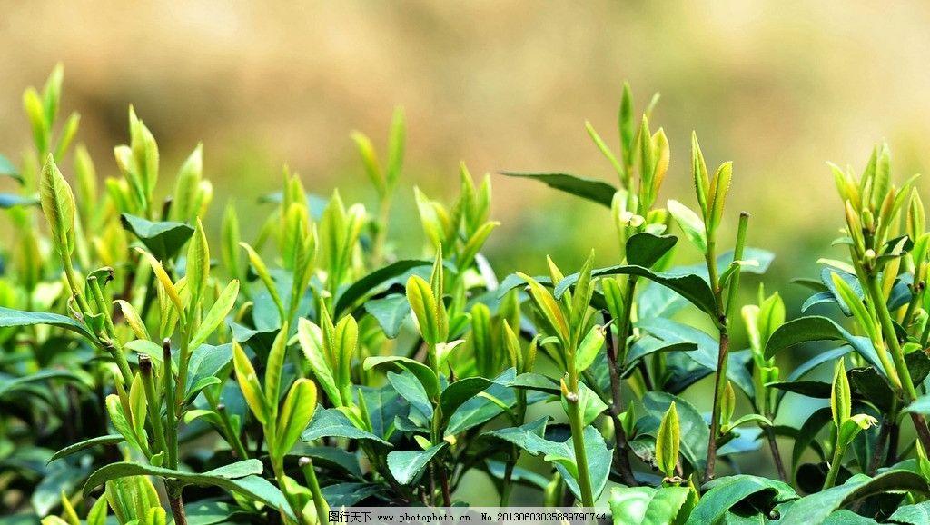 茶叶图片图片