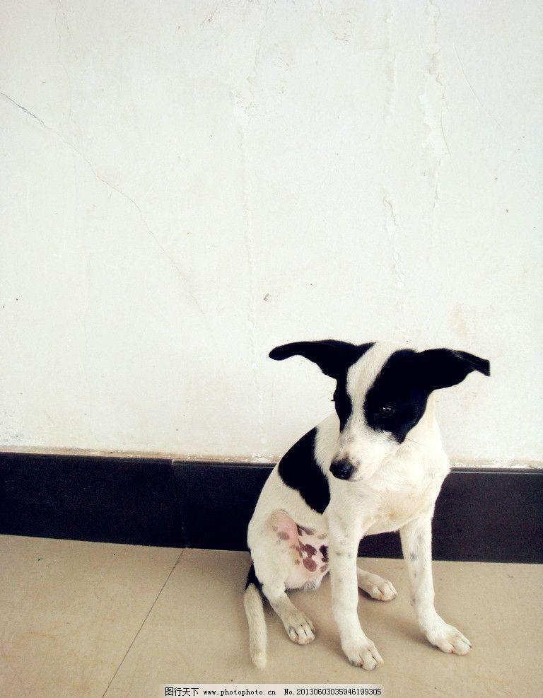 小狗 奶牛斑纹 狗 宠物 小动物 黑白斑点 家禽家畜 生物世界 摄影 72