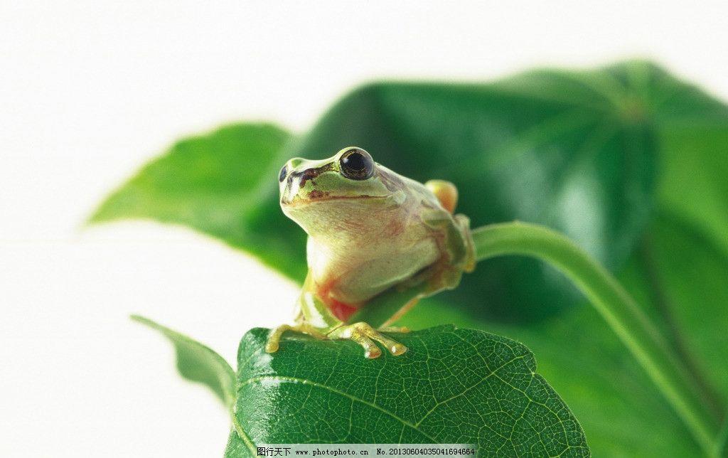 青蛙 树枝 动物 绿色 侧面 叶子 绿叶 野生动物 生物世界 摄影 350dpi