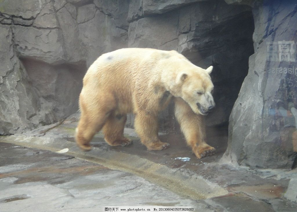 北极熊 海洋公园 海洋生物 白熊 熊出没 野生动物 生物世界 摄影 72