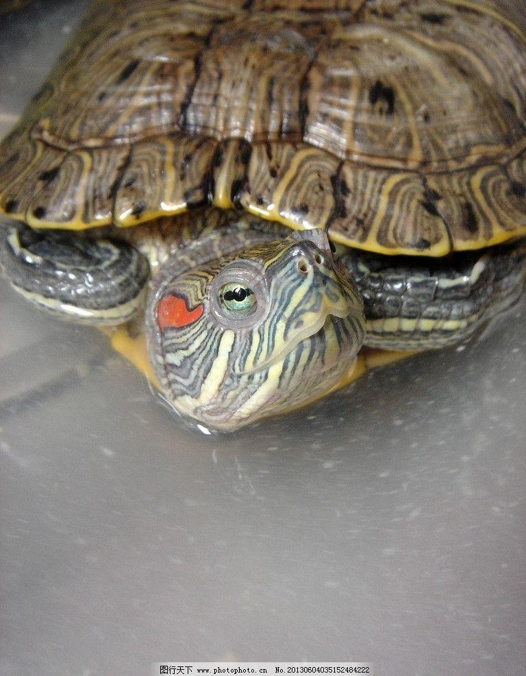 巴西龟 乌龟 龟 眼眸 两栖动物 海洋生物 生物世界 摄影 72dpi jpg图片