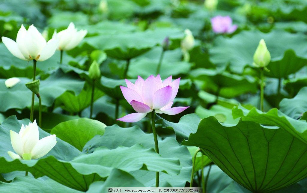 荷塘 荷叶 荷花 绿色植物 夏天 风景 摄影