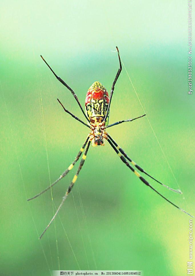 蜘蛛 昆虫 蜘蛛网 红蜘蛛 动物 害虫 生物世界 摄影 绿色