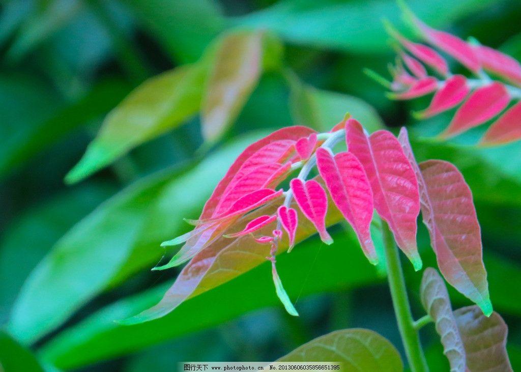 仁面树 红叶 红叶绿叶 小清新 自然 植物 唯美 摄影