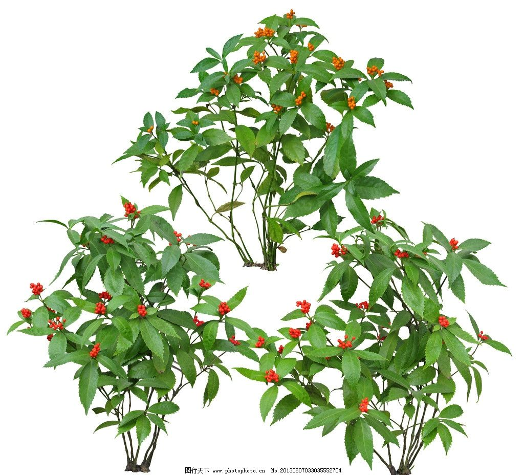 朱砂根 常绿树 灌木 花草 植物素材 灌木素材 景观效果图后期素材