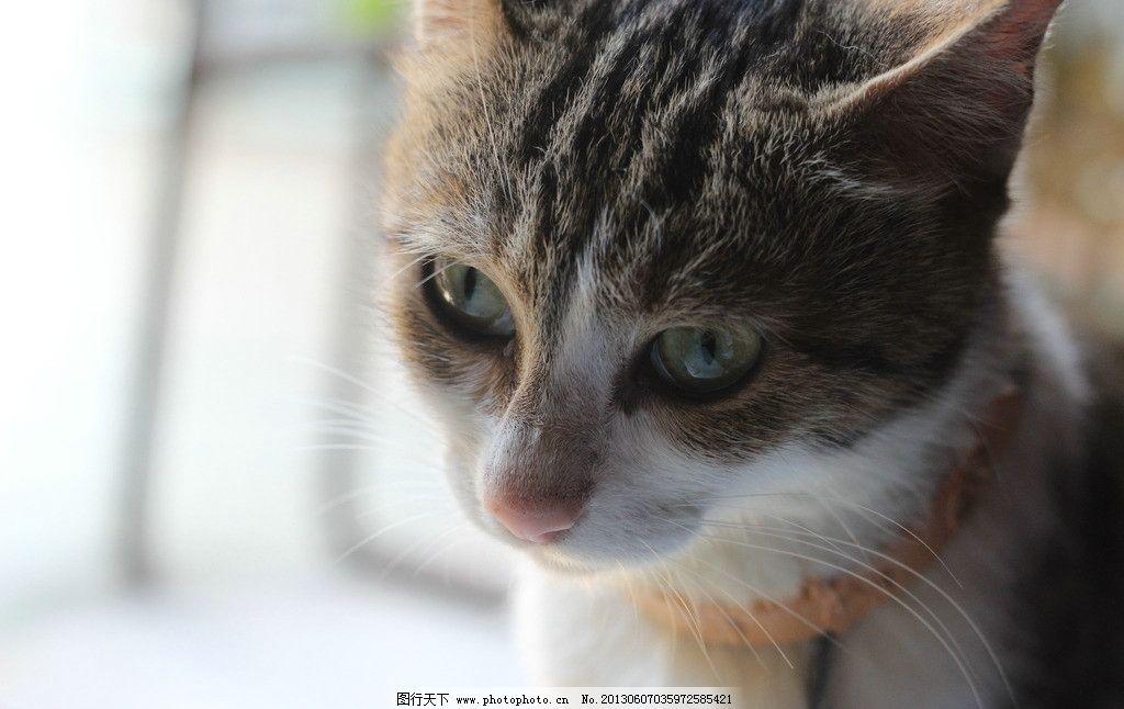 小猫 家猫 三色猫 动物 猫 宠物 家禽家畜 生物世界 摄影 72dpi jpg