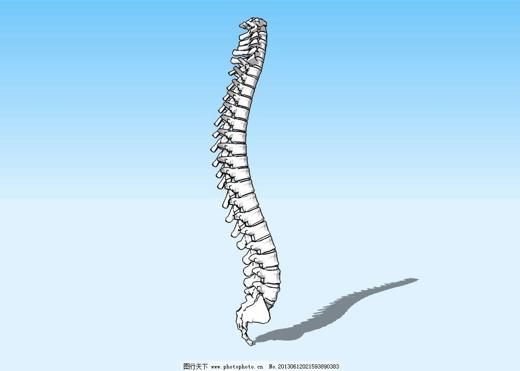 脊柱3d模型 人体结构 脊梁骨 骨架 三维 立体 造型 经典 精模