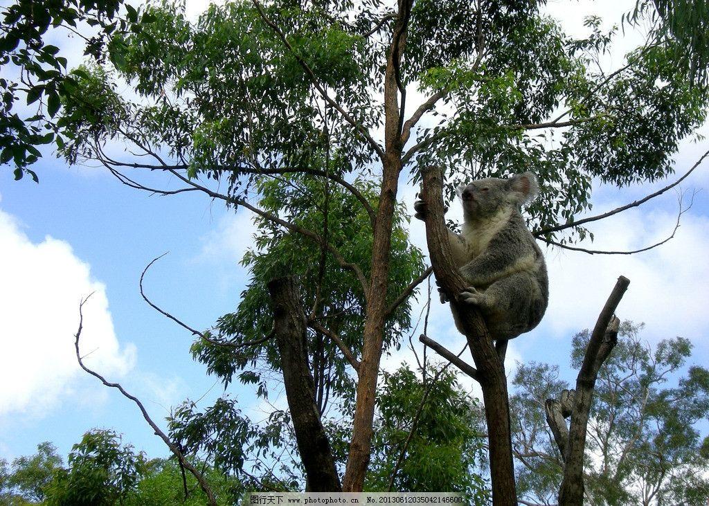 澳大利亚之旅 澳洲 国宝 考拉 动物 桉树 摄影