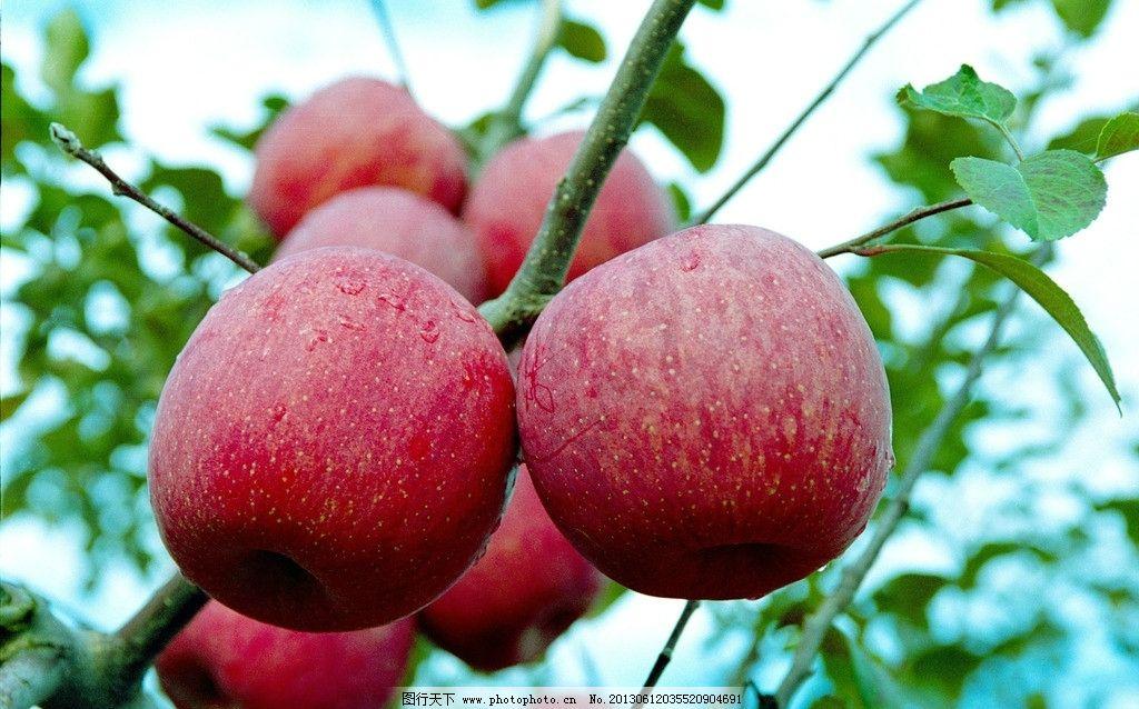 苹果 水果 果园 苹果树 树叶 成熟 丰收 新鲜 可口 水果摄影 红苹果