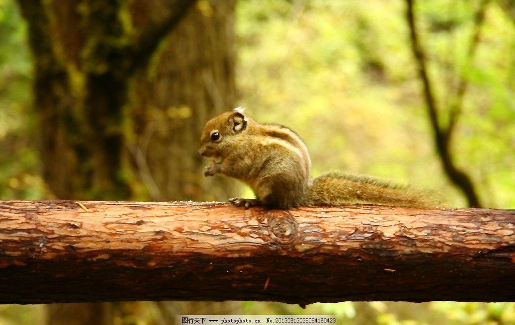 小松鼠 摄影图库 生物世界 野生动物 森林里的小松鼠 小动物 鼠类