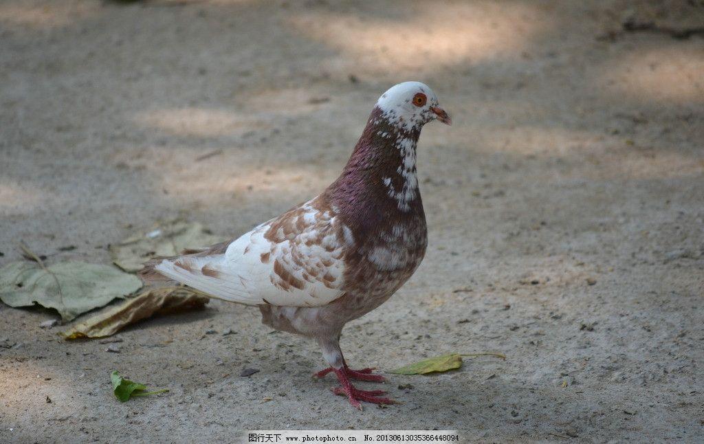 鸽子 鸟 动物 禽 信鸽 摄影