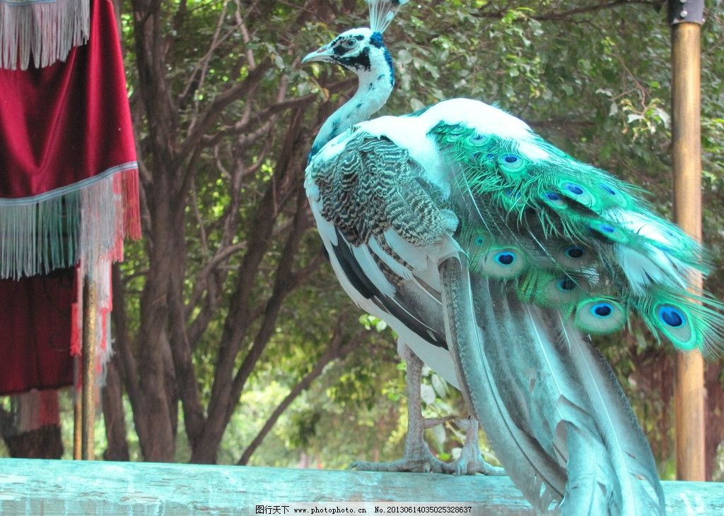 广州动物园孔雀图片