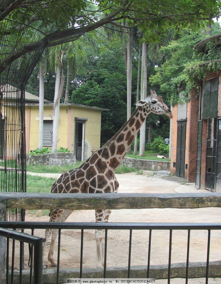 广州 动物园 长颈鹿 树木 生态 自然 栅栏 房子 野生动物 生物世界
