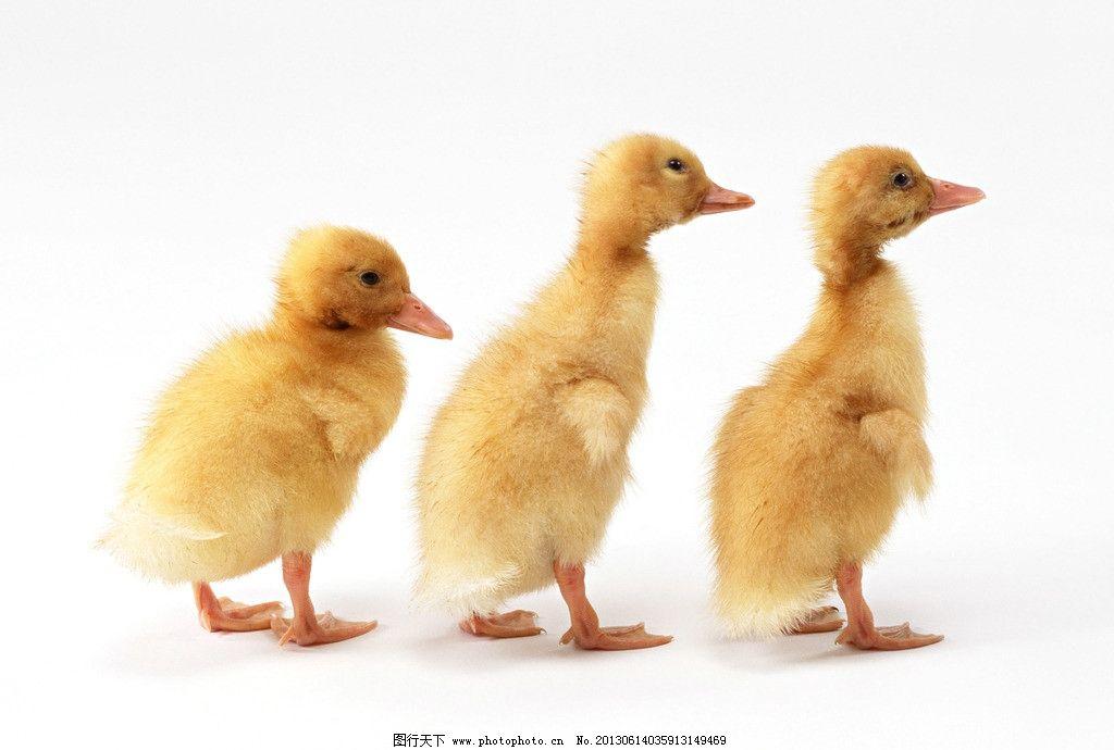 三只鸭子图片